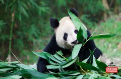 Panda bear chewing on leaves