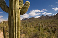 Cacti in front of blue sky