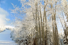 Snowy forest of white trees