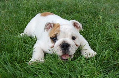 White and brown puppy sitting on lush green grass