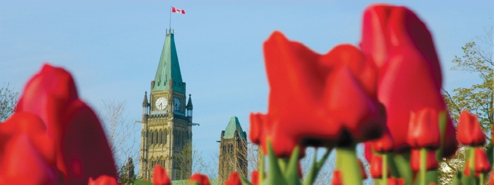 Parliament Hill and red tulips