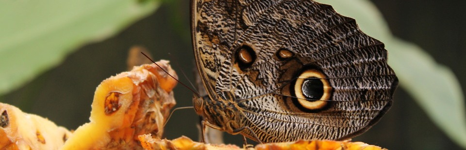 Butterfly perched on a piece of fruit