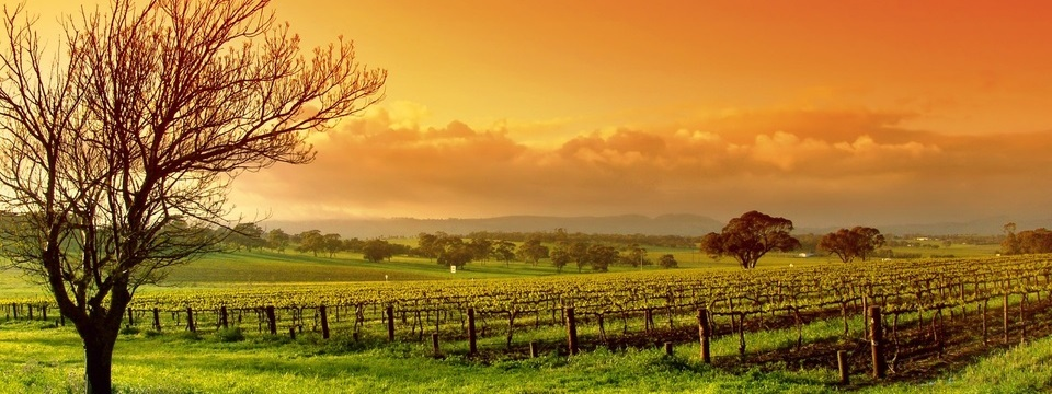 Beautiful vineyard in late afternoon