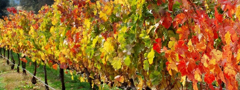 Close-up of a vineyard row with autumn leaves
